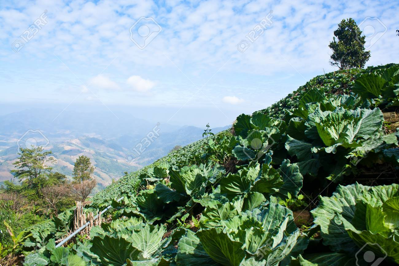 Cabbage in field with blue sky view. Stock Photo - 11801436