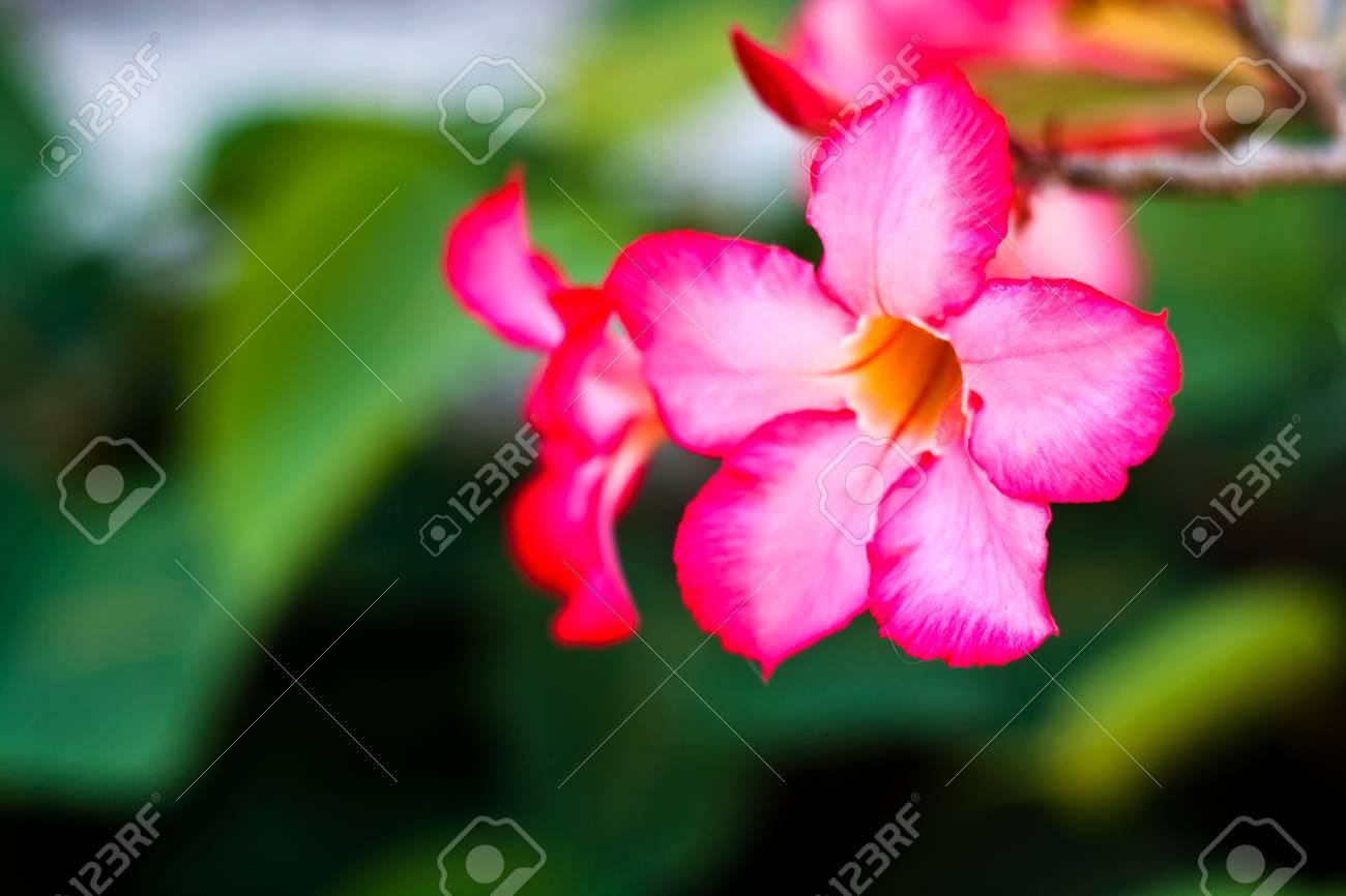 Branch of tropical pink flowers frangipani plumeria on dark branch of tropical pink flowers frangipani plumeria on dark green leaves background allow mightylinksfo