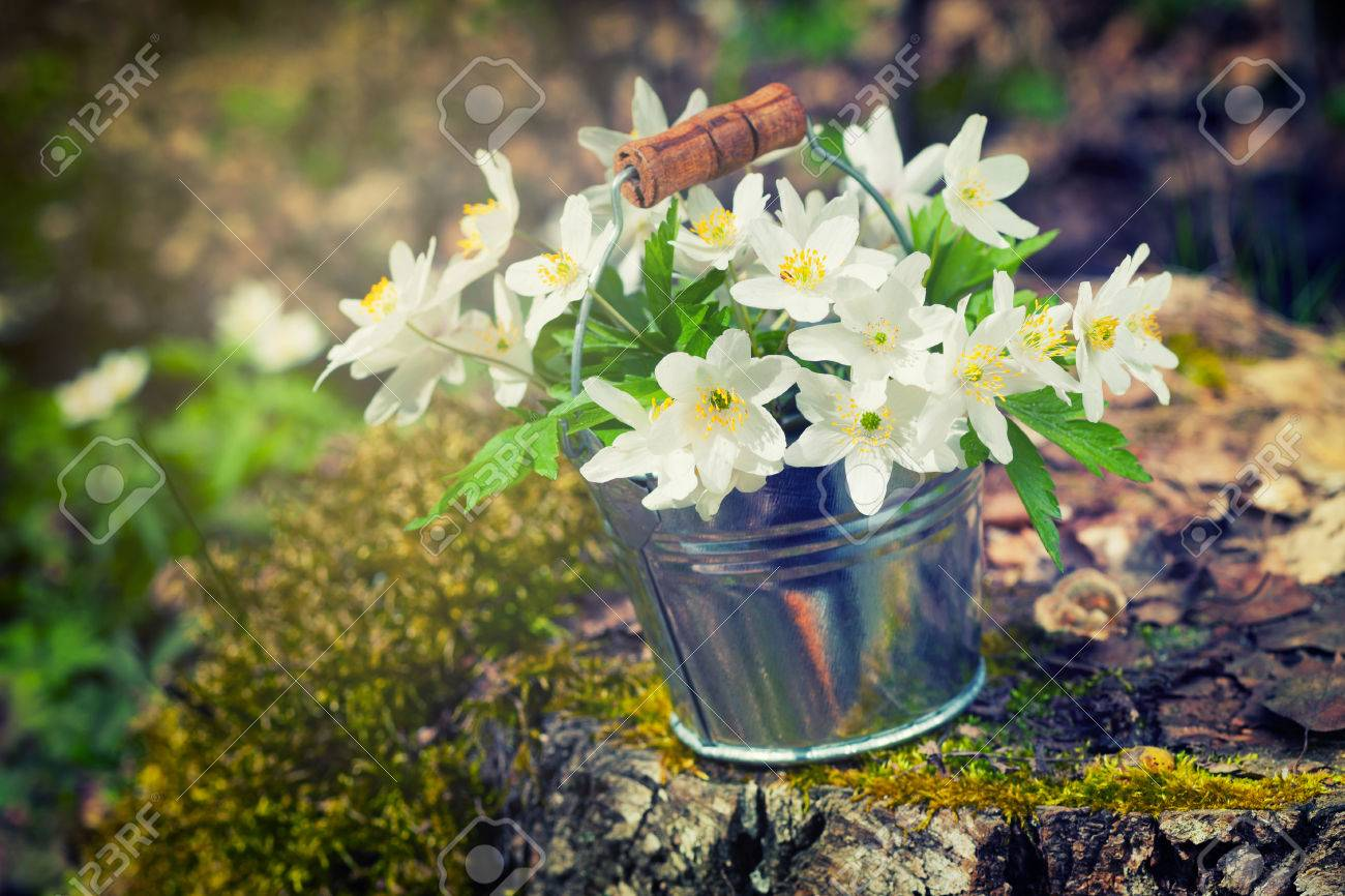 Wild Spring Flowers Anemone In Bucket On Stump In Forest Retro