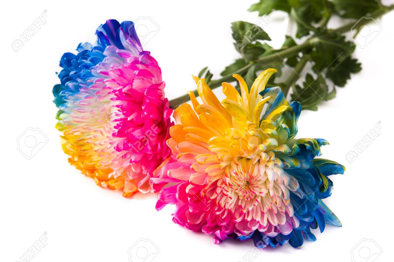 Multicolored flower isolated on white background - 139437037