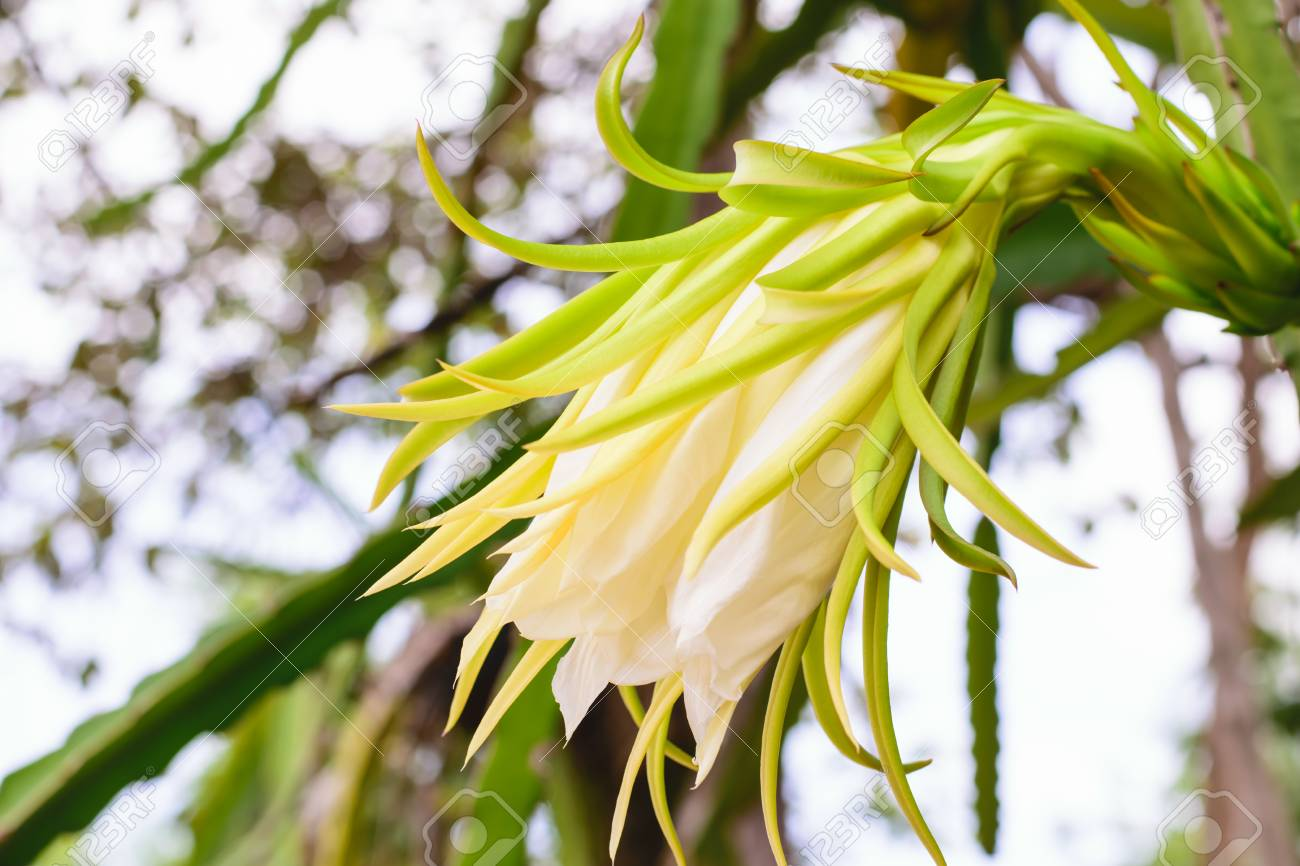 Closeup Blossom White Flower Of Dragon Fruit Stock Photo Picture