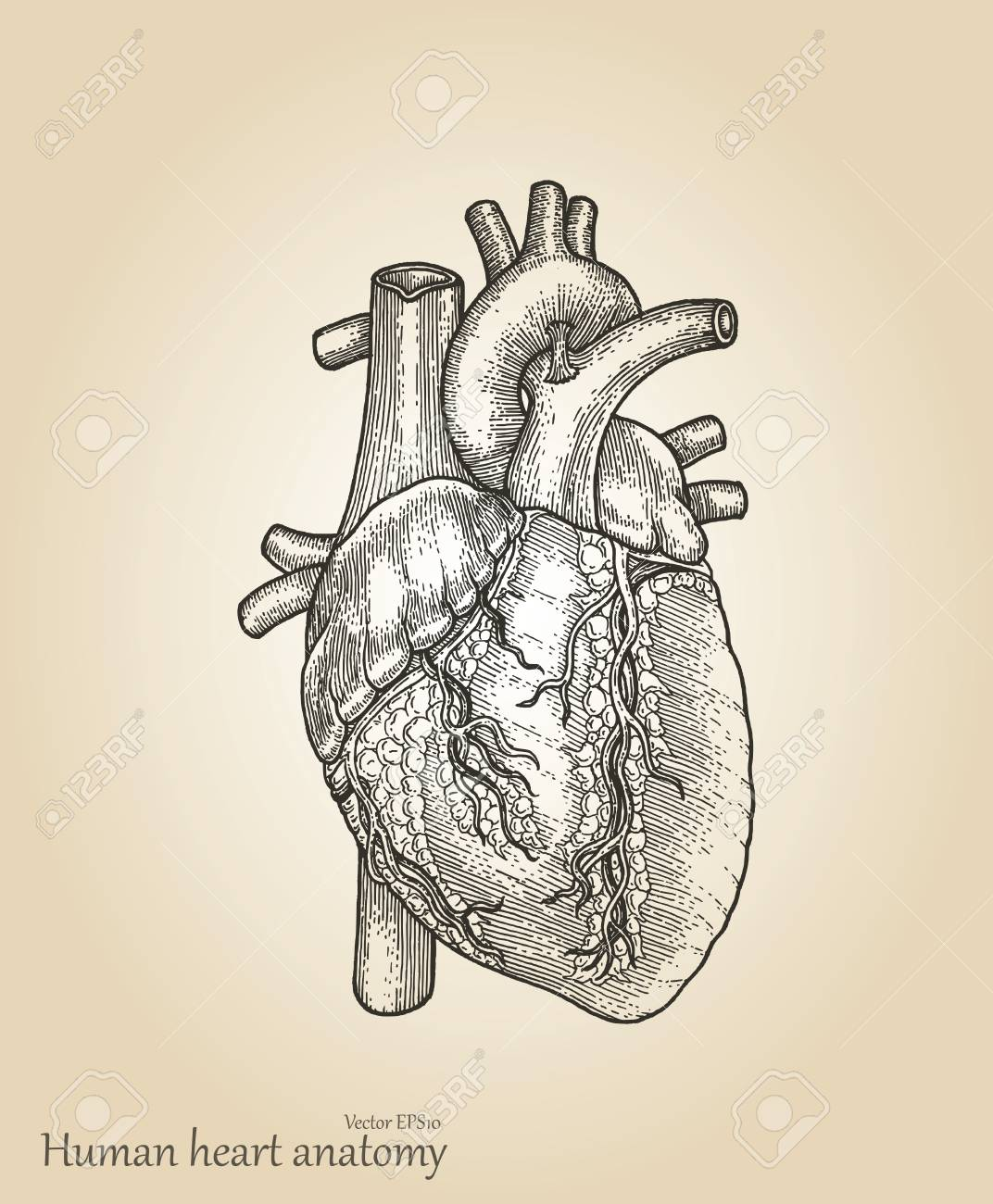 Human Heart Amatomyheart Hand Drawing Vintage Style Royalty Free
