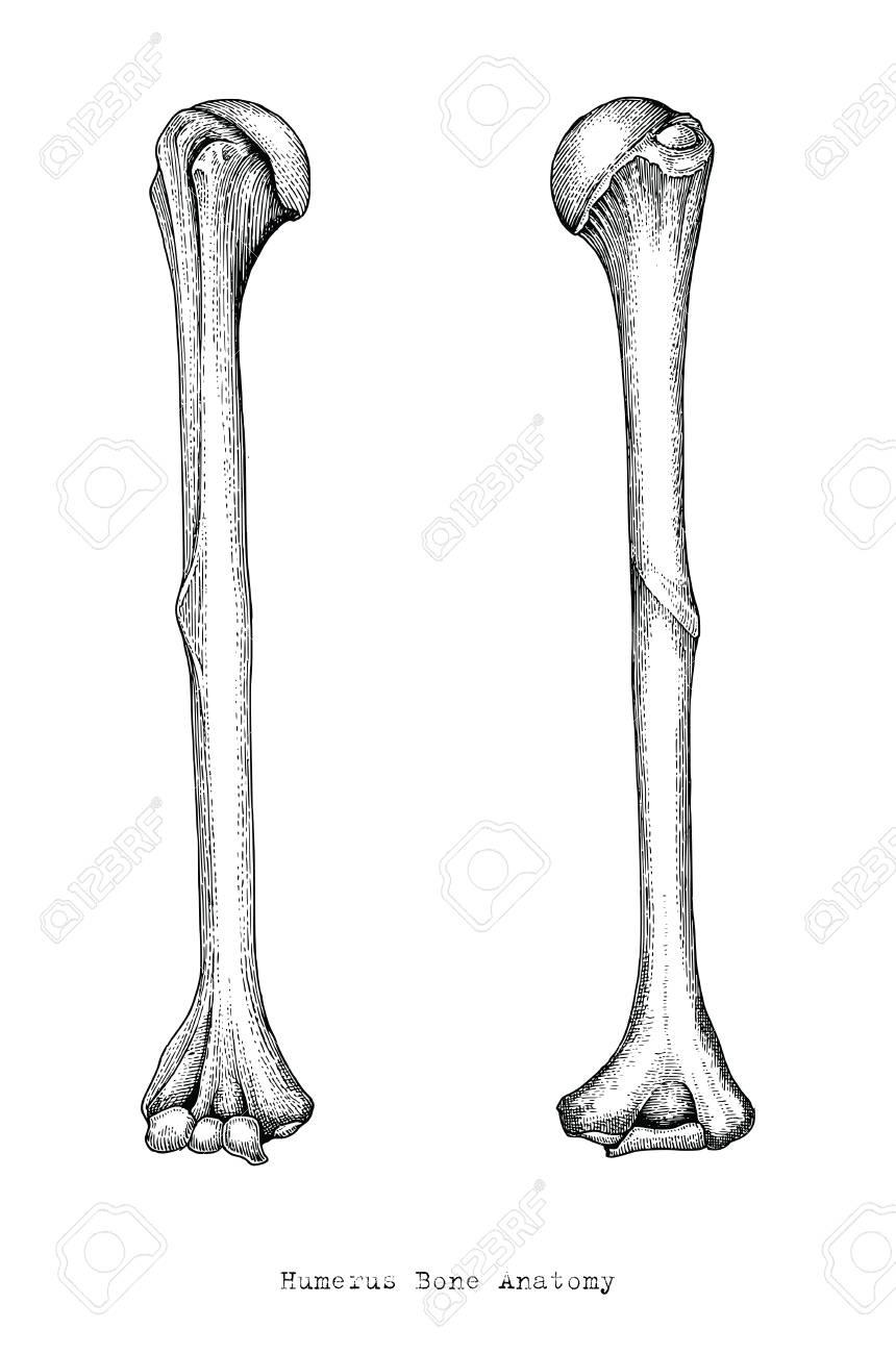 Anatomy Of Upper Human Arm Bones Hand Drawing Vintage Style,Human ...