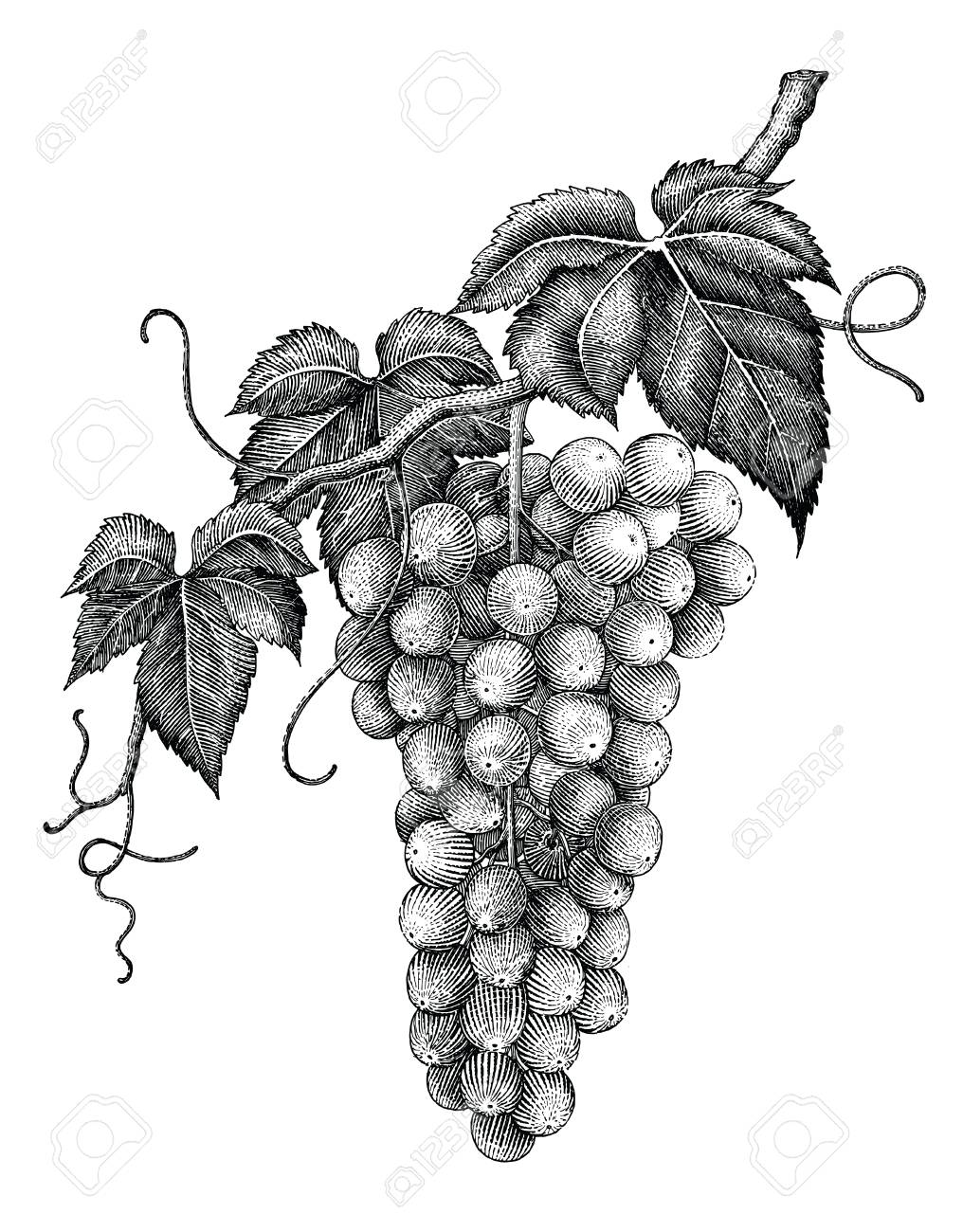 Grape branch hand drawing engraving vintage isolated on white background - 102871126