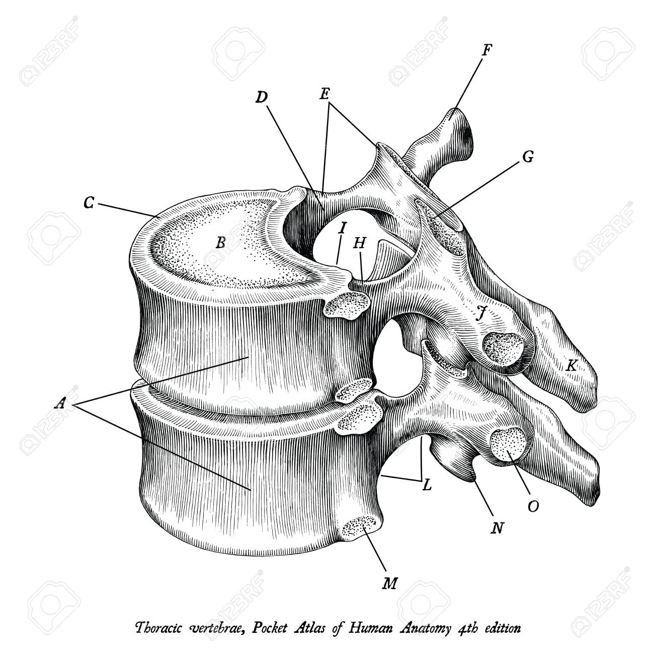 Thoracic Vertebrae Anatomy Vintage Illustration Clip Art Isolated ...