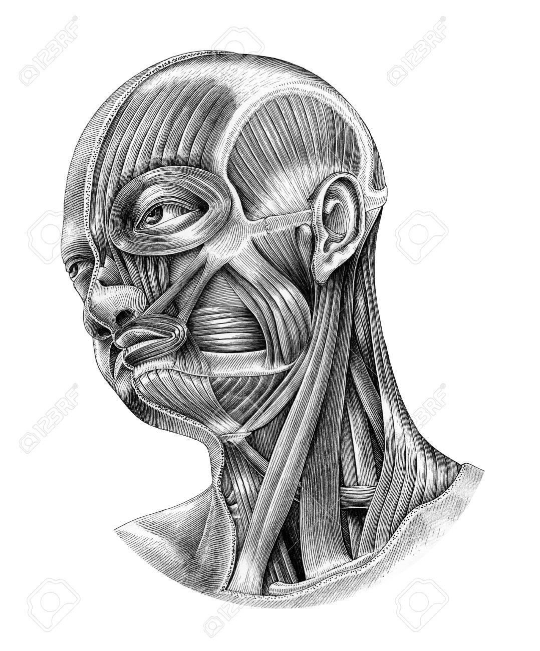 human head and neck anatomy diagram illustration vintage style isolate on  white background stock illustration -