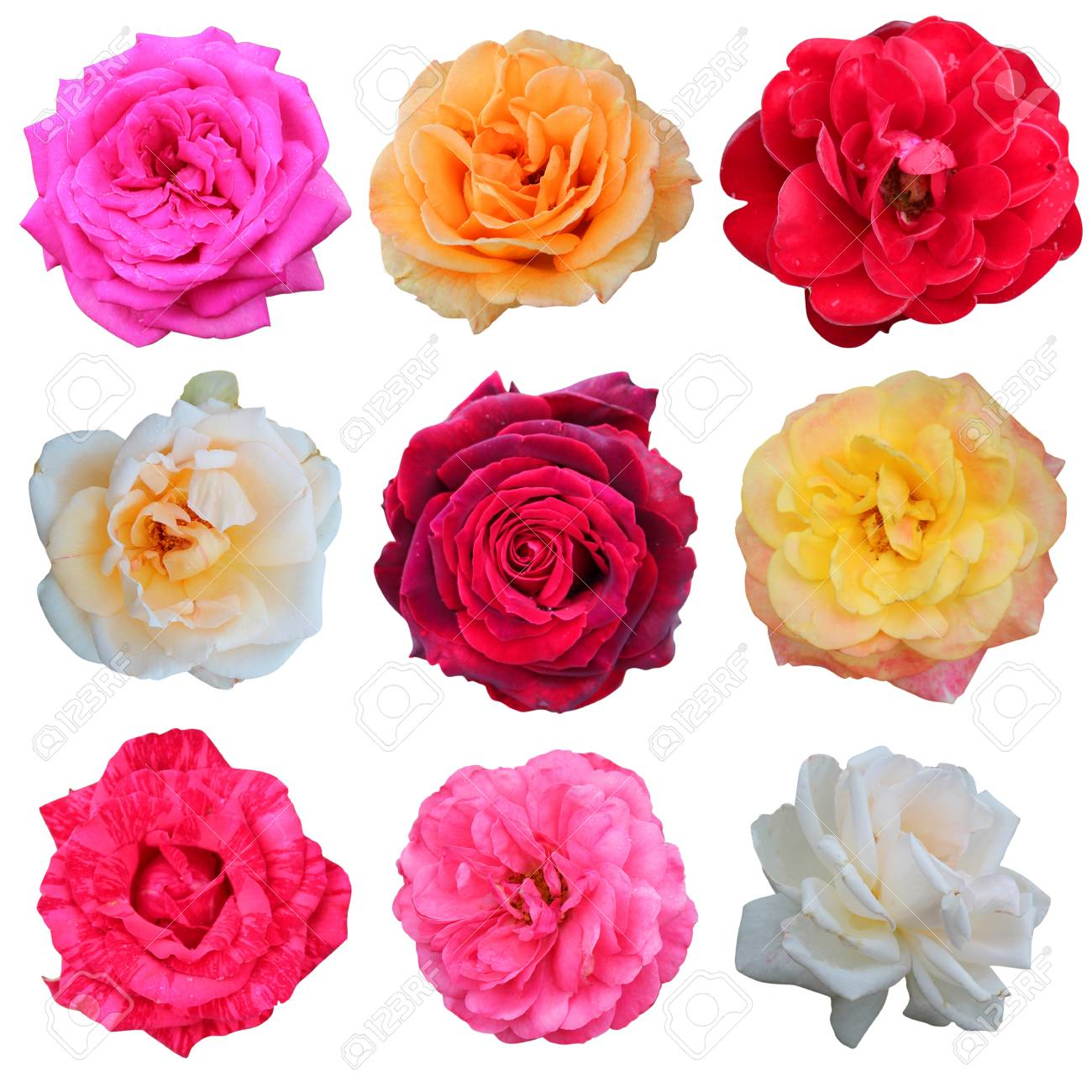 Set Of 9 Beautiful Red Pink Yellow White And Orange Roses Stock