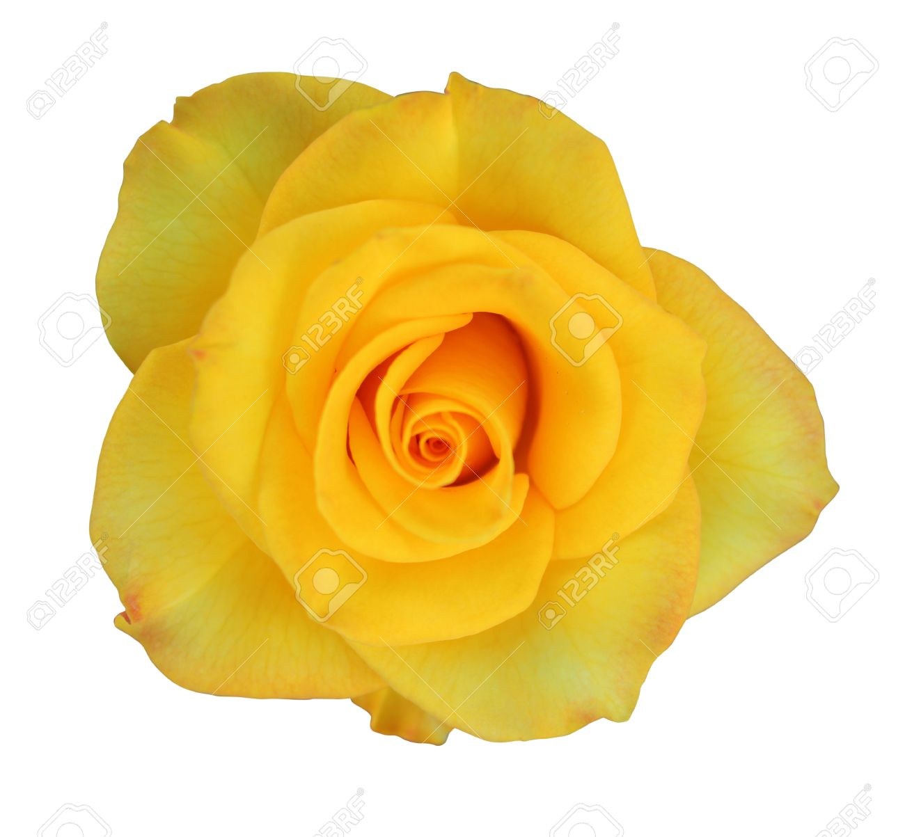 Yellow rose symbolizes image collections meaning of text symbols beautiful yellow rose symbol of friendship stock photo picture and mightylinksfo