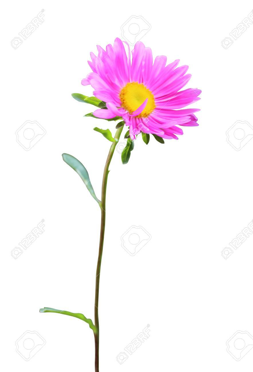 Beautiful pink aster flower isolated on white stock photo picture beautiful pink aster flower isolated on white stock photo 21494124 mightylinksfo