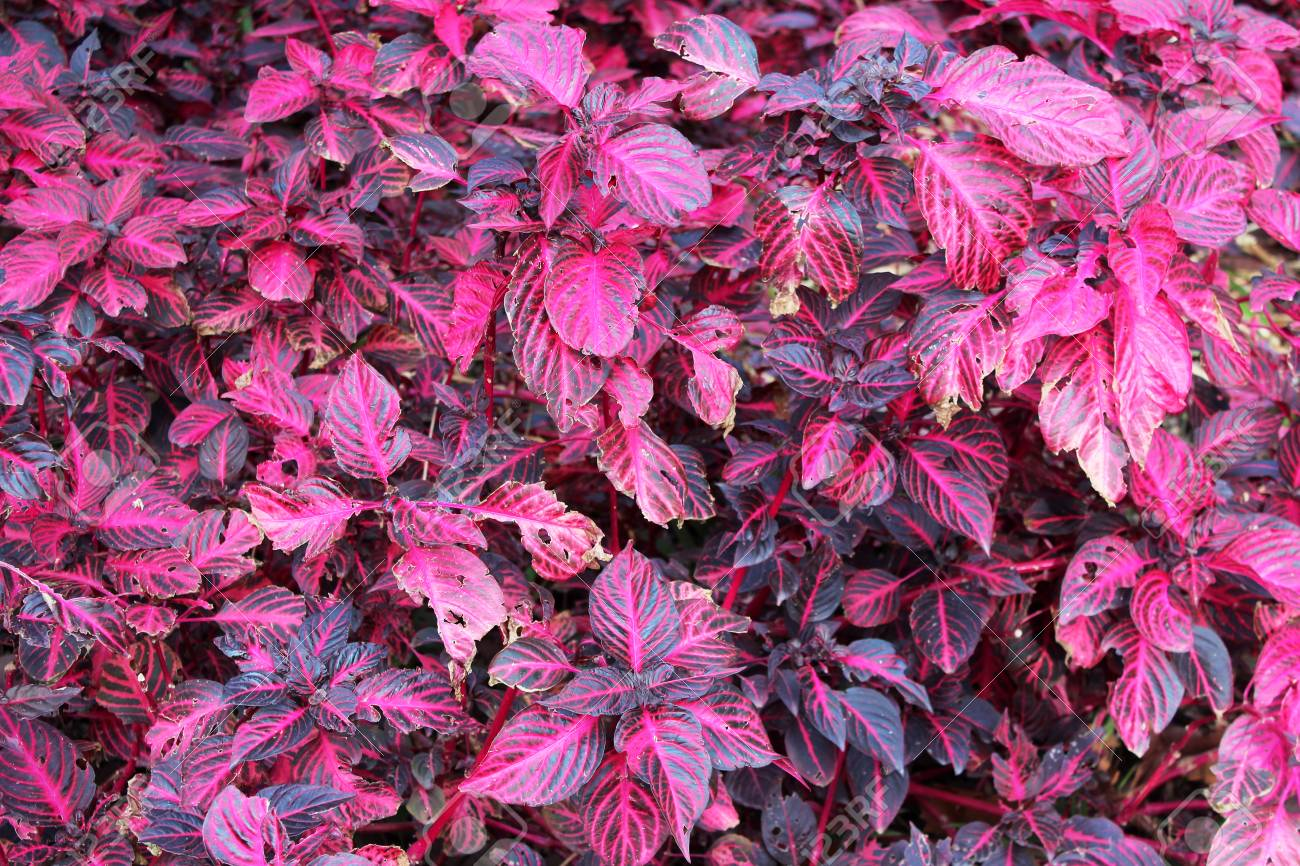 Beautiful Plants With Red Purple Leaves In The Garden On Sunny