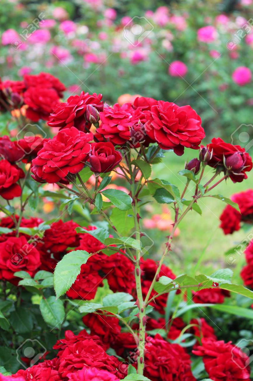 Beautiful red rose flowers growing in the garden on sunny summer..
