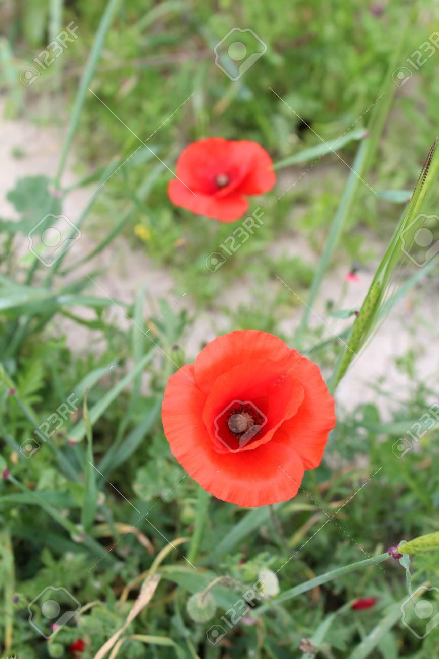 Beautiful poppy flowers growing in the garden on sunny spring beautiful poppy flowers growing in the garden on sunny spring day natural floral background mightylinksfo