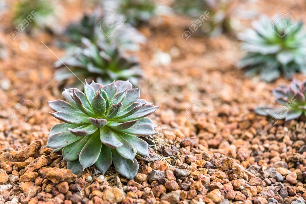 Miniature Succulent Plants In Desert Garden Stock Photo Picture And