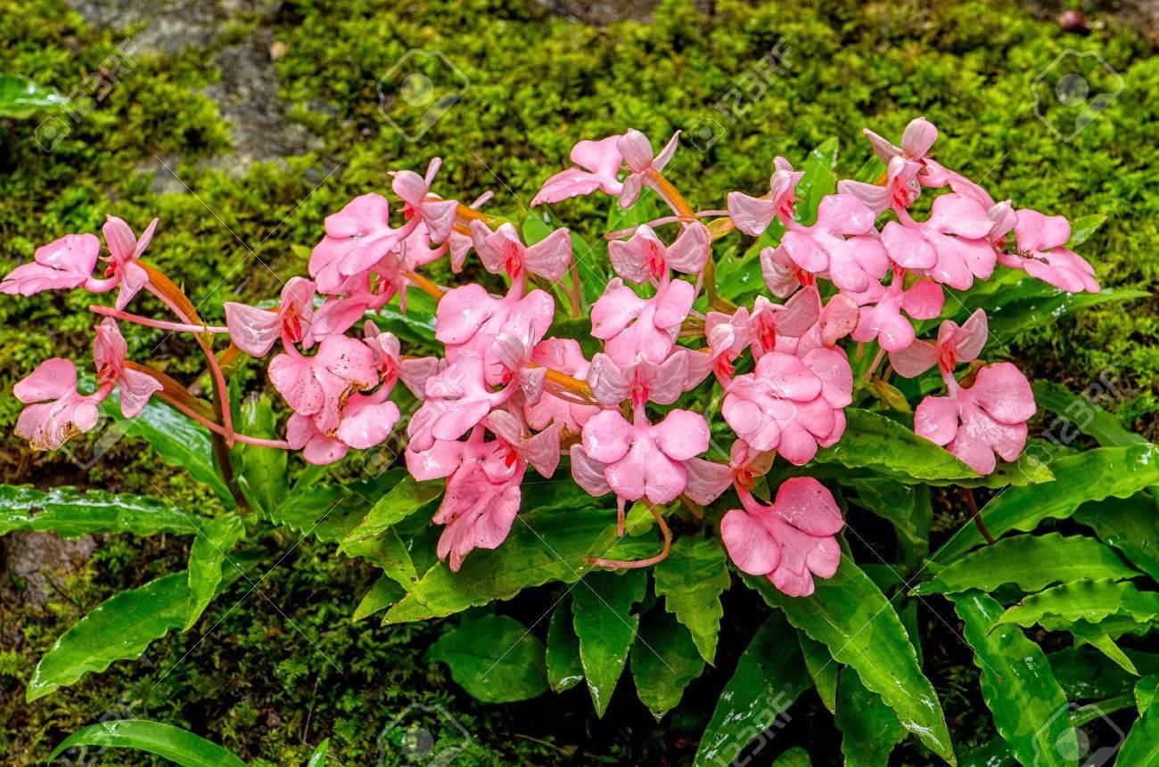 The Pink Lipped Rhodocheila Habenaria Pink Snap Dragon Flower