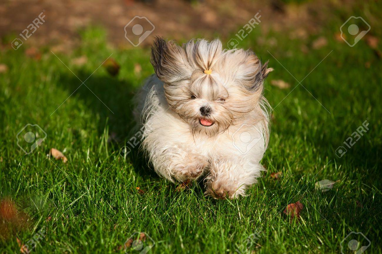 Shih Tzu Dog Running In Garden Stock Photo   16235760
