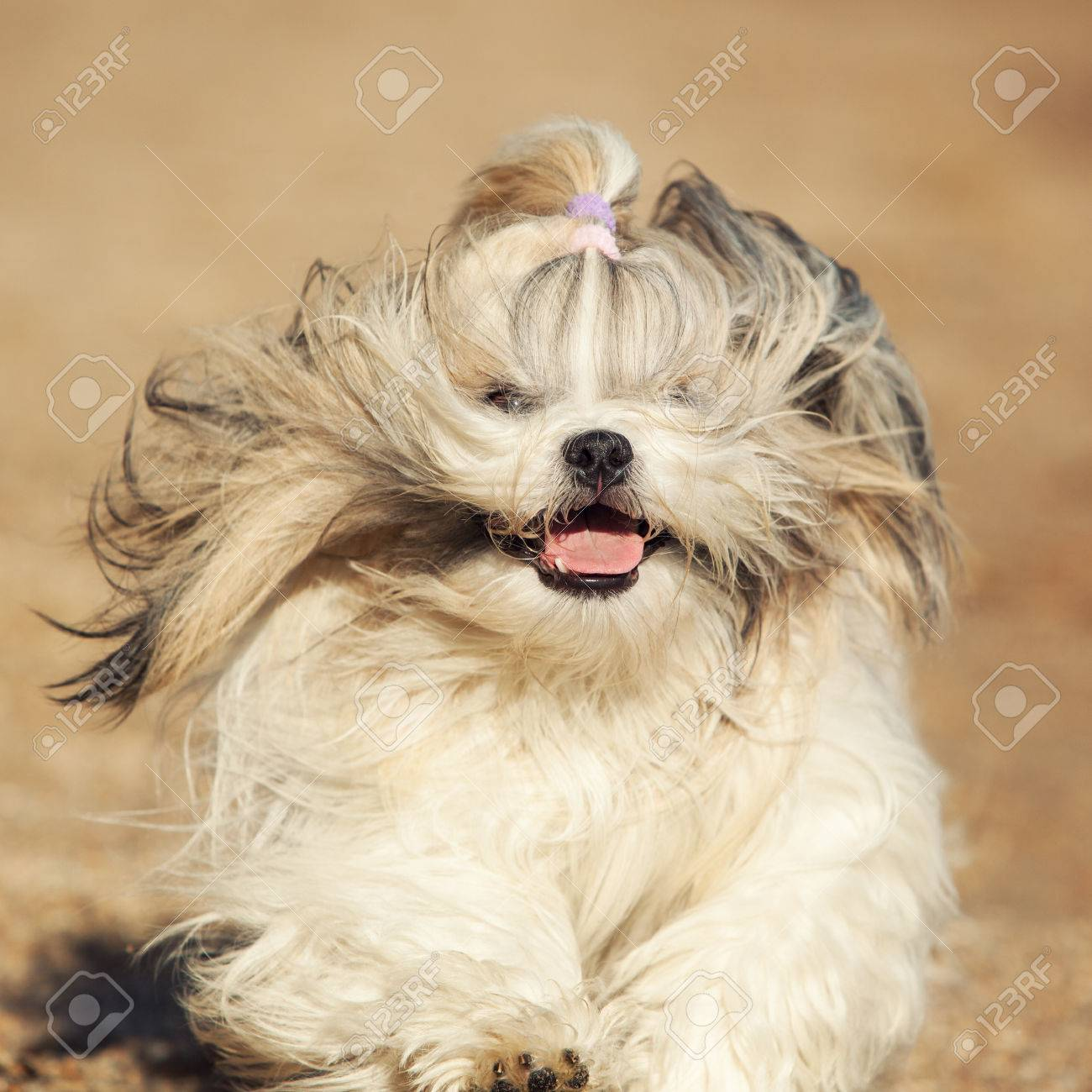 Shih Tzu Dog Fast Running Front View Stock Photo Picture And