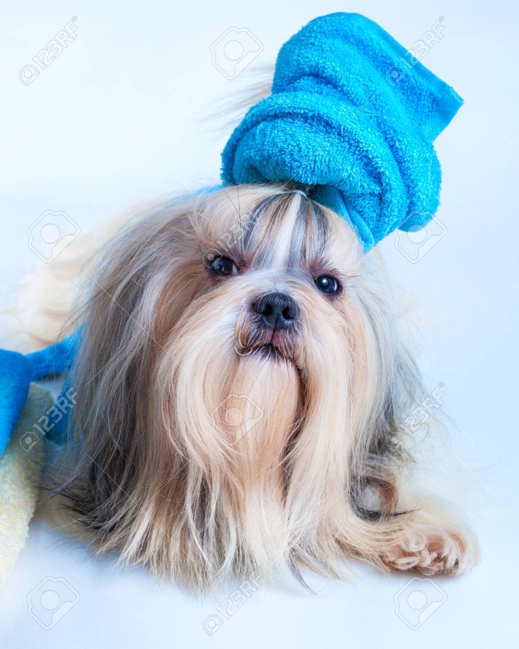 Shih Tzu Dog Hair Style With Towel In Grooming Salon Concept
