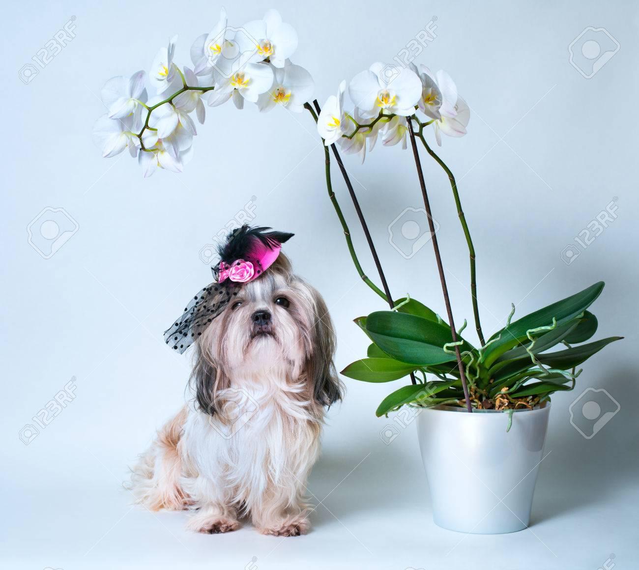 df8057ea37bd5 Foto de archivo - Shih Tzu perros en el sombrero de color rosa sentado en  virtud del gran flor de orquídea blanca. En el fondo blanco.