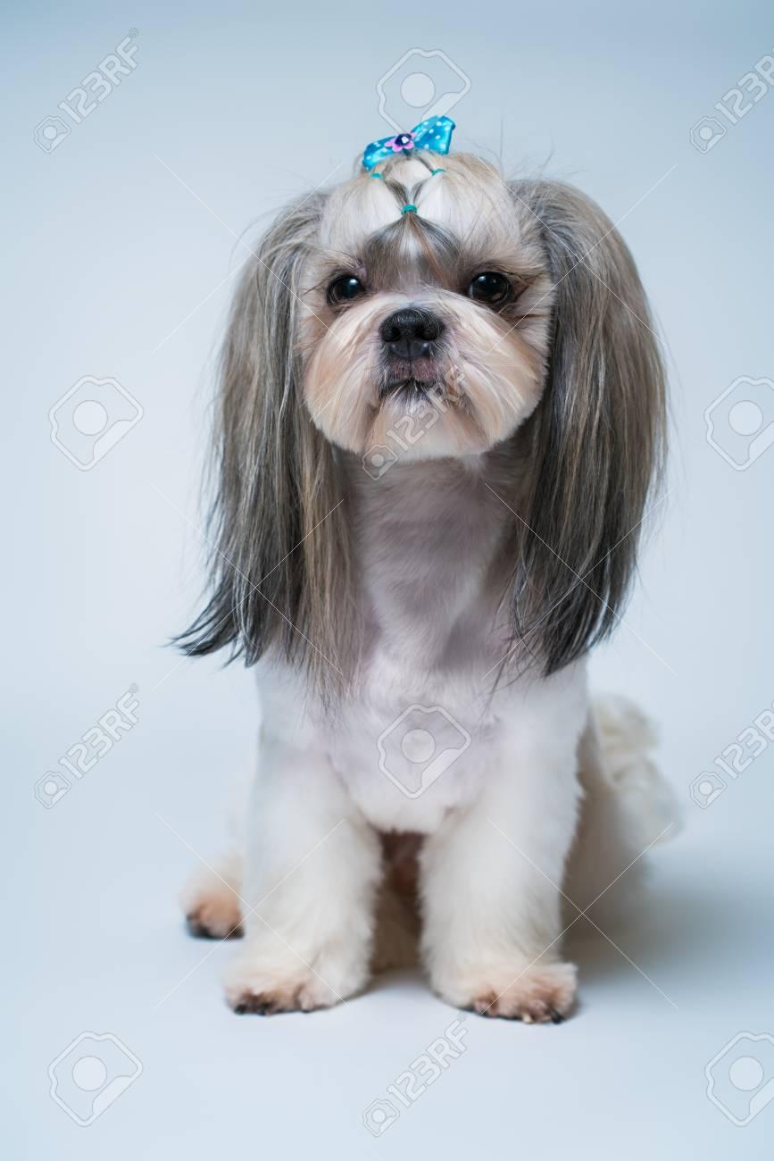 Shih tzu con pelo corto