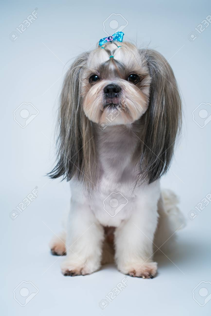 Shih Tzu Dog With Short Hair After Grooming Profile View On Stock