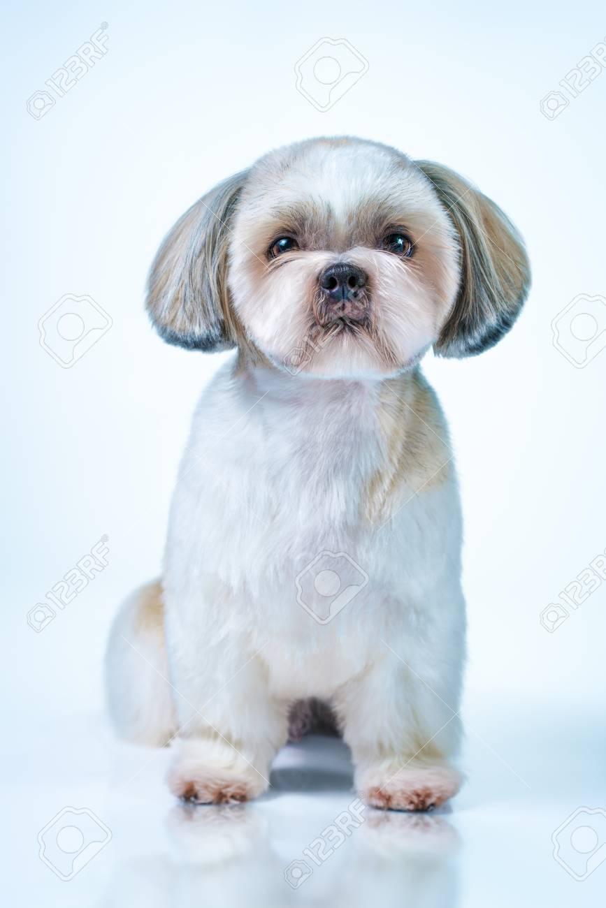 Shih tzu corte de pelo corto