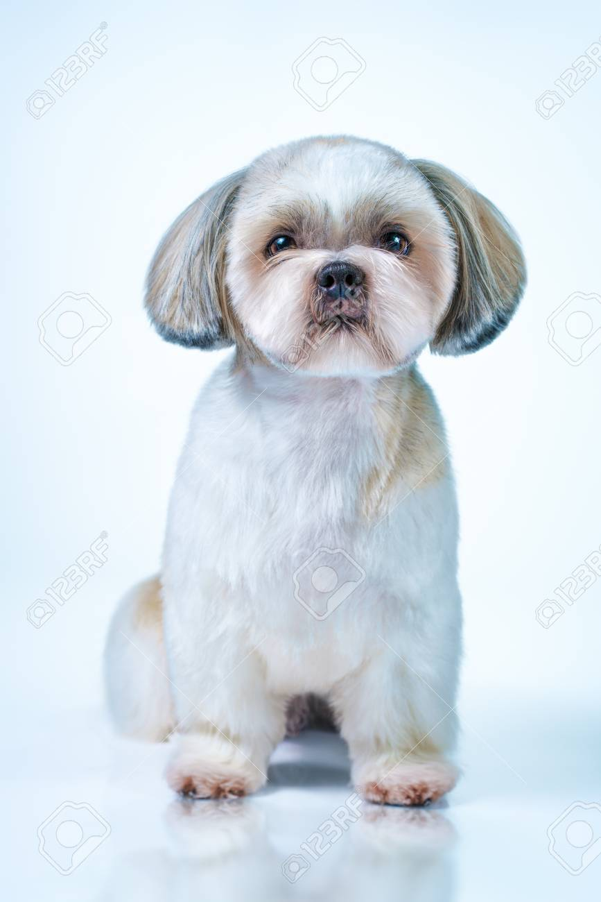 Shih Tzu Dog With Short Hair After Grooming Front View On Bright