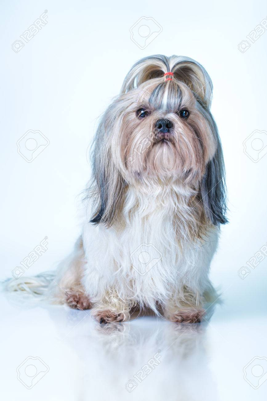 Shih Tzu Dog With Long Hair Front View On Bright White And Blue