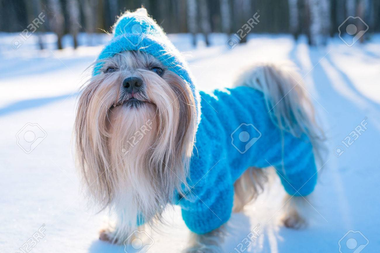 Shih Tzu Dog In Blue Knitted Sweater Winter Outdoors Portrait Stock Photo Picture And Royalty Free Image Image 80346687