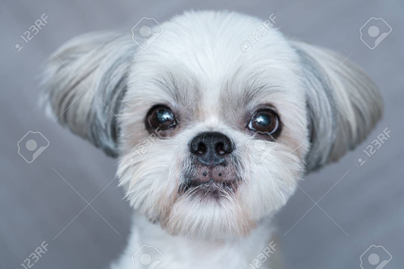 Cute Shih Tzu Dog Close Up Portrait Focus On Nose Stock Photo