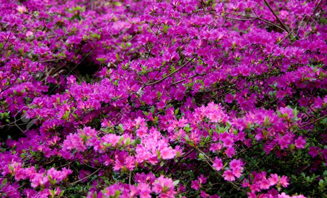 azaleae in bloom Stock Photo - 9353738