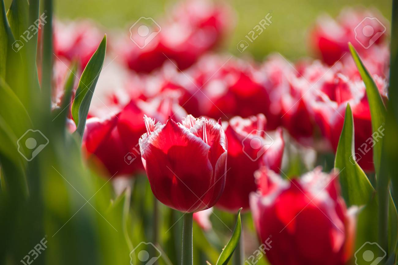 red tulips in bloom Stock Photo - 9360827
