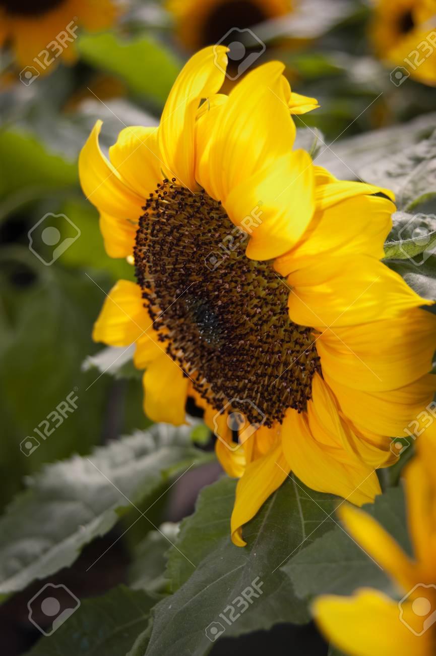 Sunflower - Helianthus annuus Stock Photo - 9368949