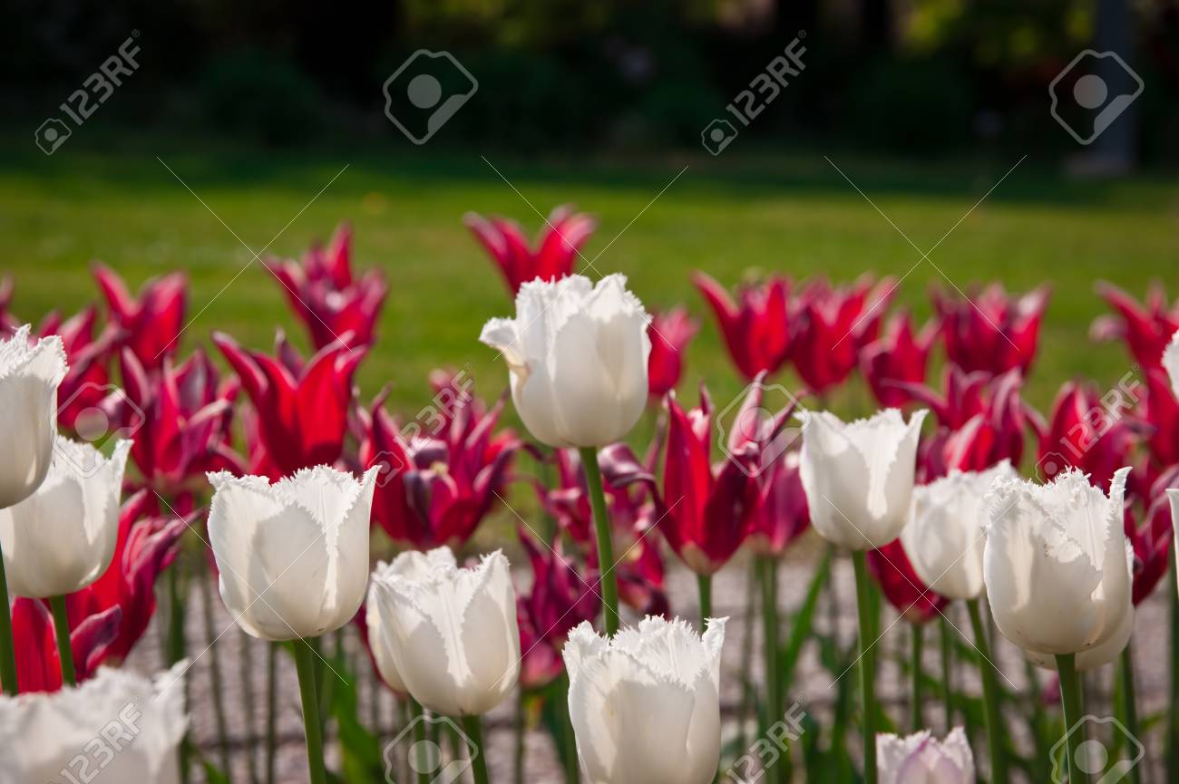 white tulips on red tulips background Stock Photo - 9373372