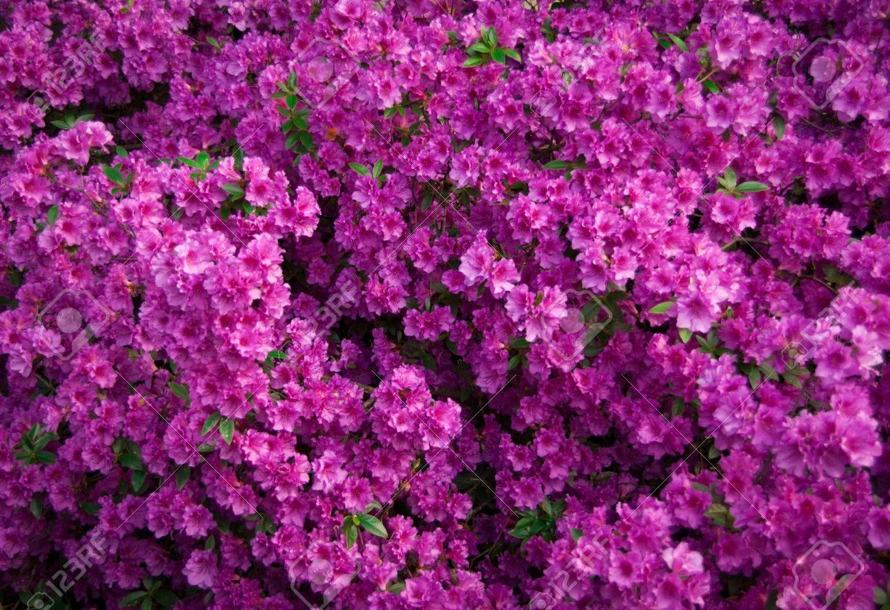 pink azalea flowers in bloom Stock Photo - 9404174
