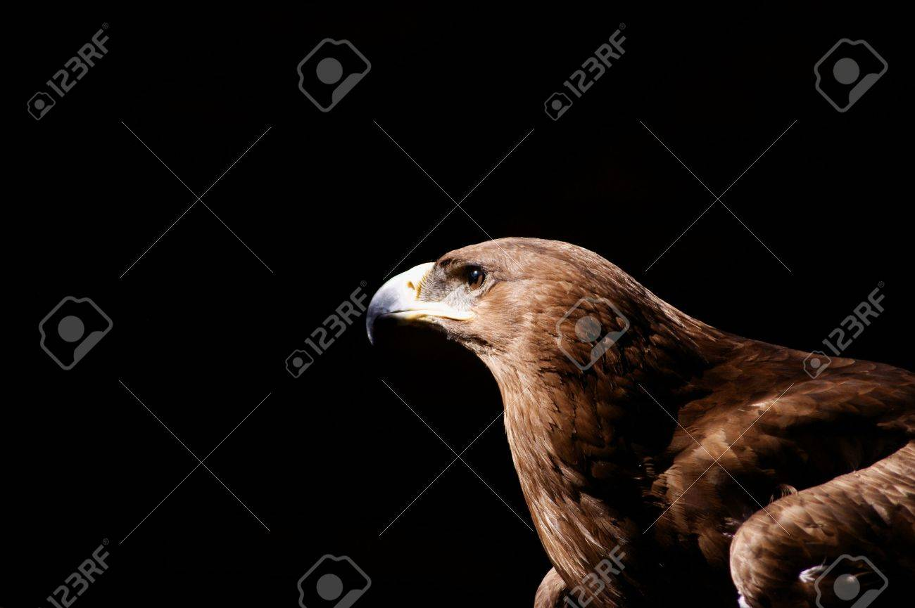 steppe eagle close up ok head on black background Stock Photo - 10034836