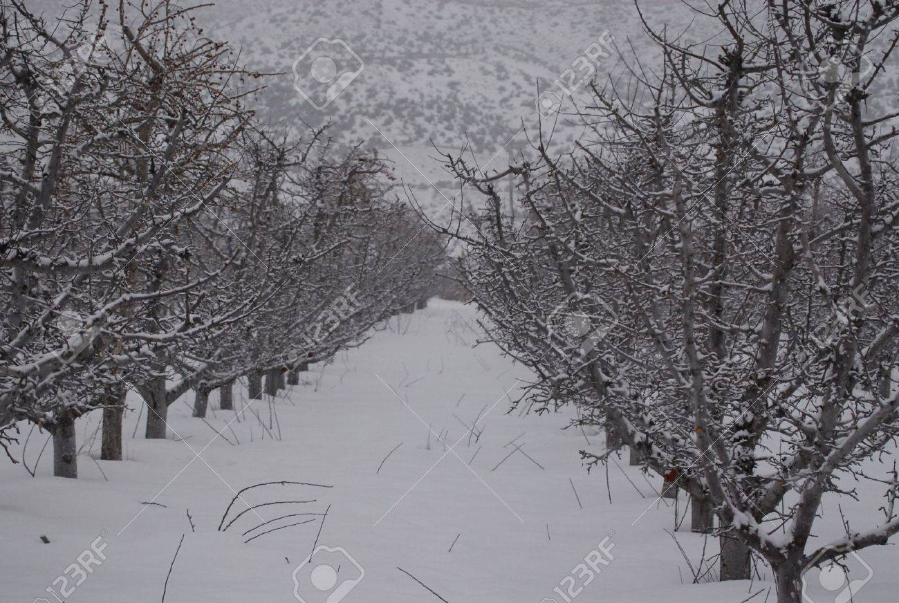 Snowy Orchard Stock Photo - 4190794