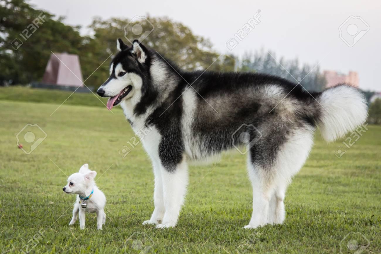 Portrait Of A Siberian Husky Dog And Chihuahua Outdoors Stock Photo