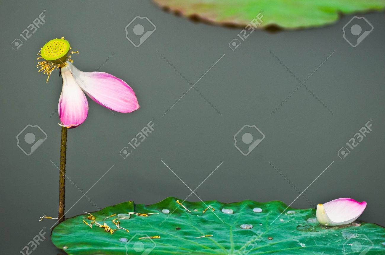 Fallen Lotus In The Puddy Porn Stock Photo Picture And Royalty Free