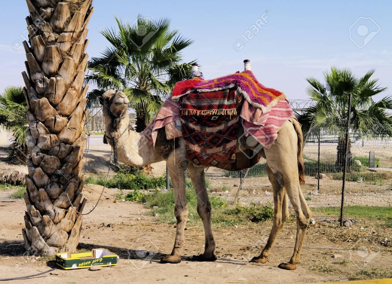 Camel, Israel Stock Photo - 14941159