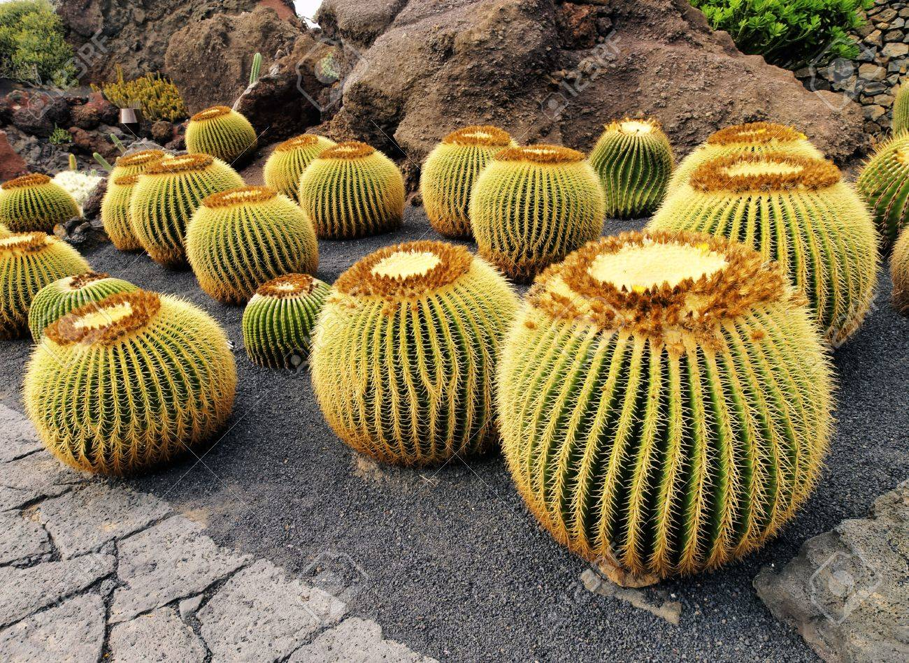 jardin de cactus lanzarote canary islands spain stock photo