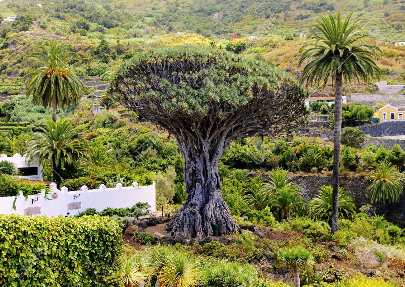 Dragon Tree Drago Milenario Icod De Los Vinos Tenerife