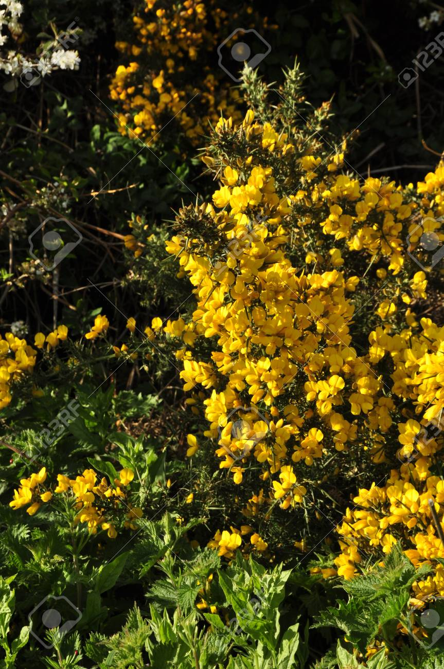 Gorse Or Furze Ulex Europaeus A Prickly Yellow Flowered Bush