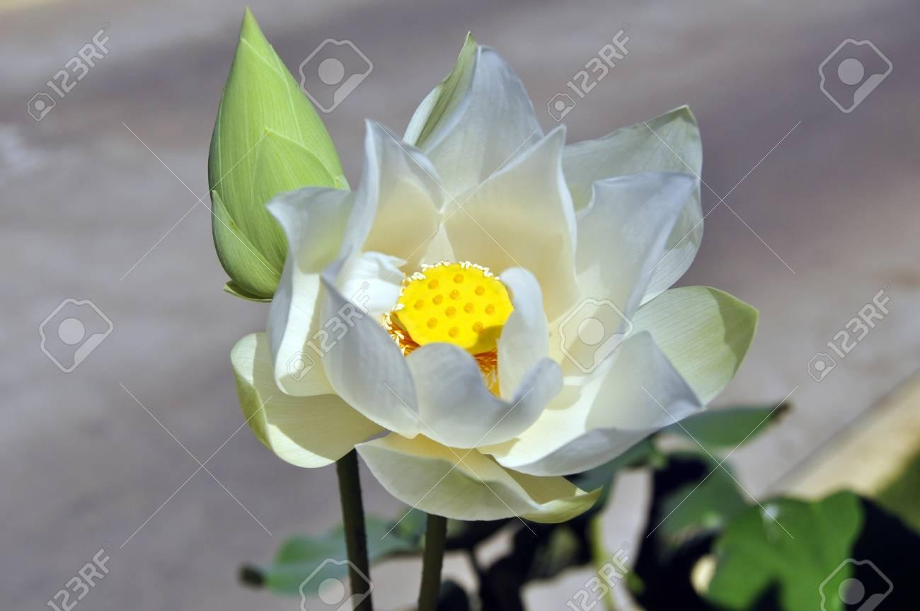lotus flower (nelumbo nucifera). the national flower of india,..