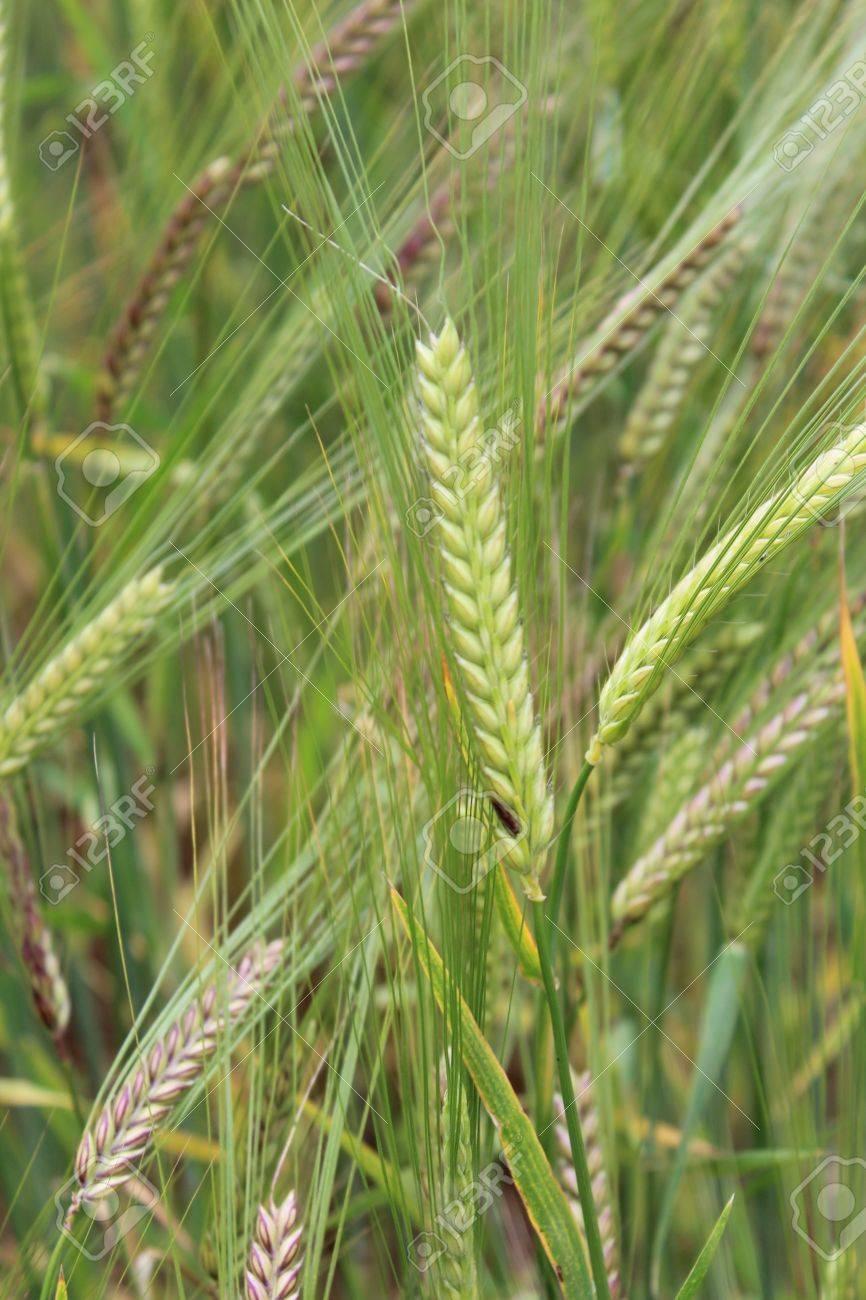 Barley, Summertime, England Stock Photo - 21057687