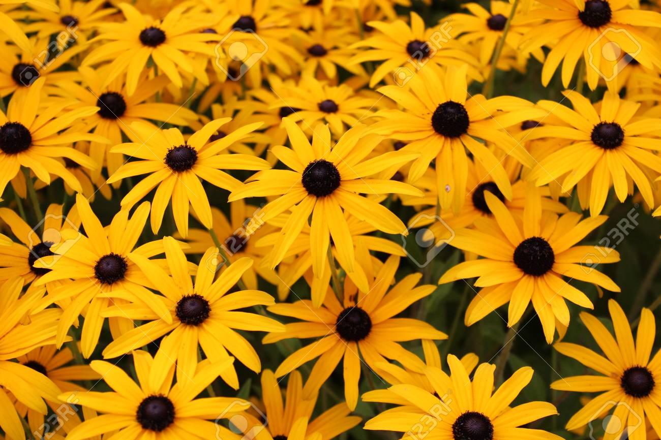 Bright Yellow Daisies, Summertime, England Stock Photo - 23850445