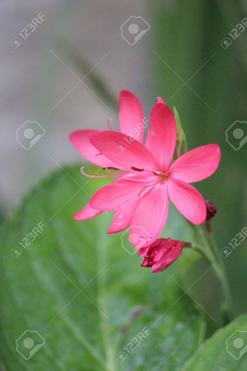 Pink Star Shaped Flowers On Grey Background England Stock Photo