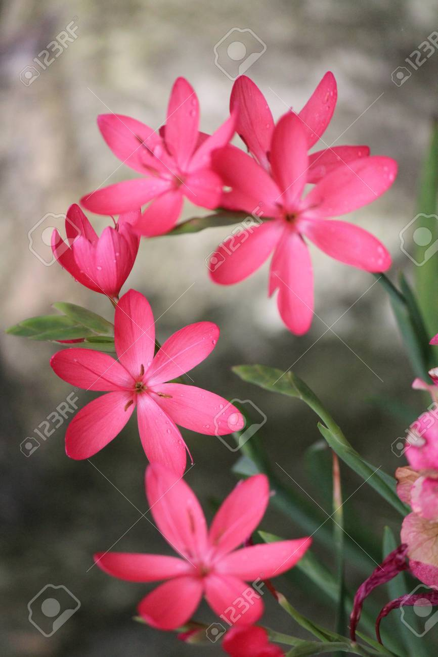 Pink star shaped flowers on grey background england stock photo pink star shaped flowers on grey background england stock photo 37443001 mightylinksfo