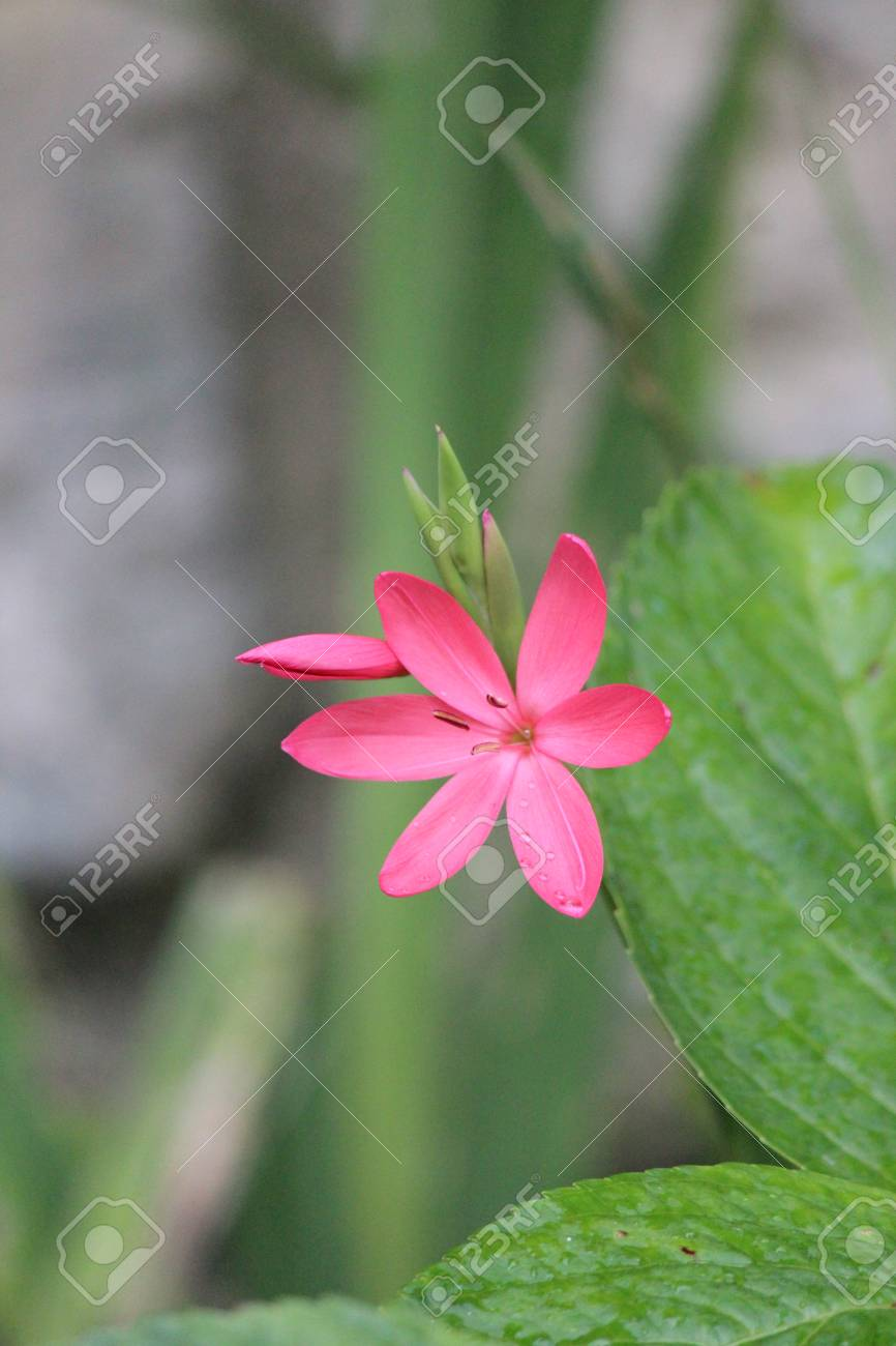 Pink Star Shaped Flower On Grey Background England Stock Photo