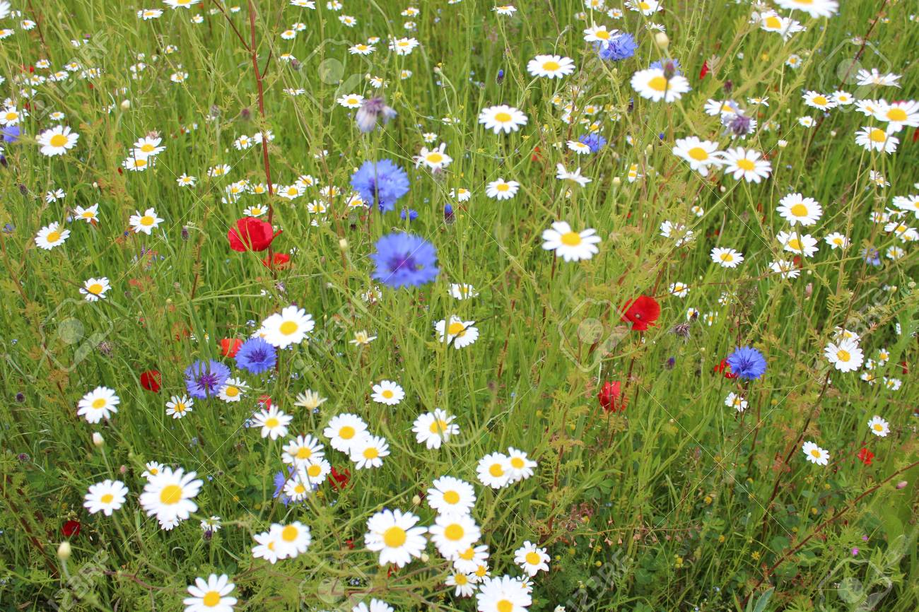 Wild Flowers In Meadow In Spring England Stock Photo Picture And