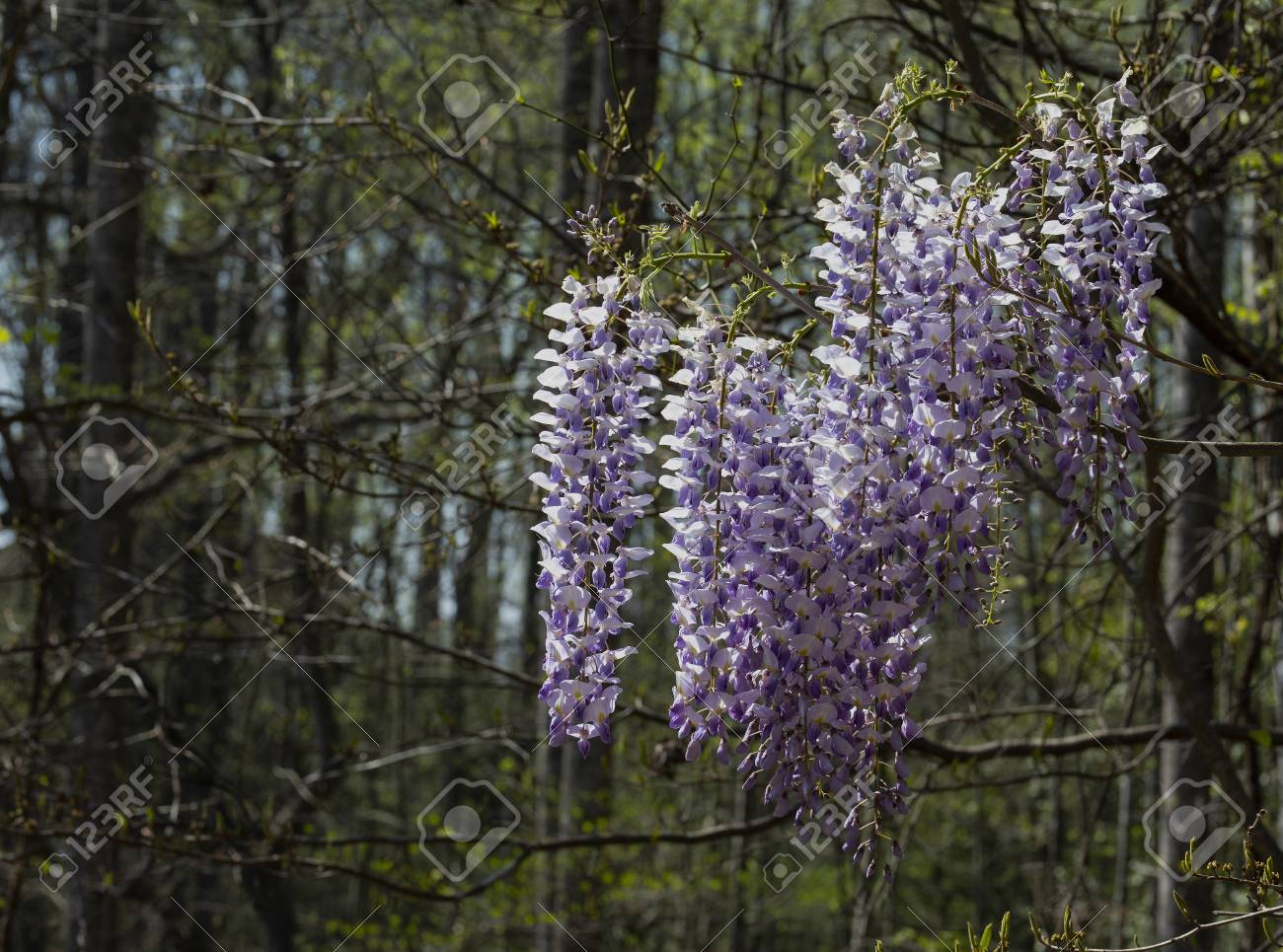 Blooming Purple And White Wisteria Flowers On Woodland Vines Stock